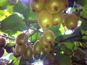 Kiwifruit vine captured on one of our tours